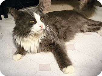 Domestic Longhair Cat for adoption in Fountain Hills, Arizona - BONITA
