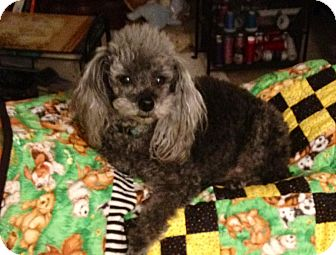 Poodle (Miniature) Mix Dog for adoption in Houston, Texas - Vegas