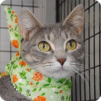 Domestic Shorthair Cat for adoption in Weatherford, Texas - Bonnie