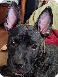 french bulldog rescue wi beau adopted puppy west allis wi french bulldog mix 5413