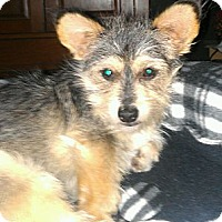 Adopt A Pet :: Calico - wirey cutie - Phoenix, AZ