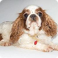 Adopt A Pet :: Harmony - Cumberland, MD