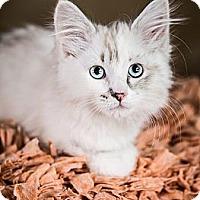 Adopt A Pet :: Tikki - Eagan, MN