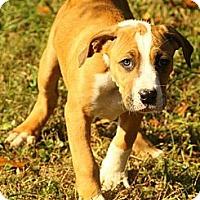 Adopt A Pet :: Bowie - Brattleboro, VT