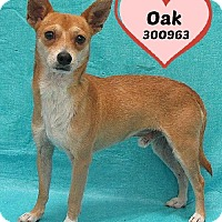 Adopt A Pet :: A300963 Oak - San Antonio, TX