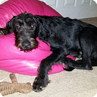Adopt A Pet :: Blue - Labradoodle - St. Petersburg, FL