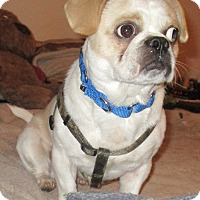 Adopt A Pet :: Pugsley - Orange Park, FL
