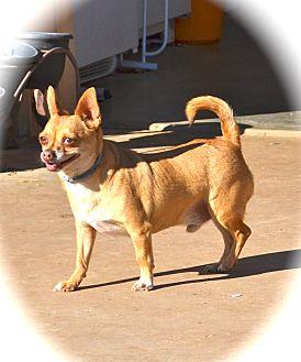 Chihuahua Dog for adoption in Blanchard, Oklahoma - Corky