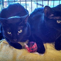 Photo 1 - Domestic Shorthair Cat for adoption in Scottsdale, Arizona - Miss Bliss-edob 4/24/12
