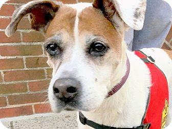 Boxer/Pit Bull Terrier Mix Dog for adoption in Philadelphia, Pennsylvania - Daisy