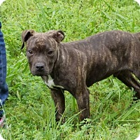 American Pit Bull Terrier Mix Puppy for adoption in Lincoln, California - Buddy II