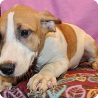 Beagle/Hound (Unknown Type) Mix Dog for adoption in Hillsdale, Indiana - Kane