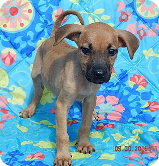 Shepherd (Unknown Type)/Boxer Mix Puppy for adoption in Williamsport, Maryland - Tink (6 lb) Video!