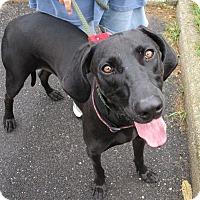 Weimaraner Dog for adoption in Freeport, New York - Rex