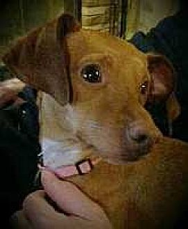 Miniature Pinscher Mix Dog for adoption in Columbus, Ohio - Lydia