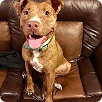 Adopt A Pet :: Tiki - Pittsburgh, PA