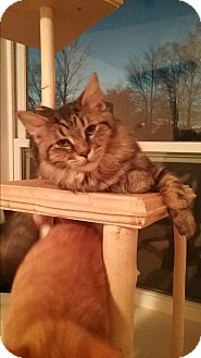 Domestic Longhair Kitten for adoption in Cedar Springs, Michigan - Ladybug