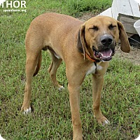 Adopt A Pet :: Thor - Elizabeth City, NC