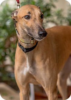 Greyhound Dog for adoption in Walnut Creek, California - Stormy