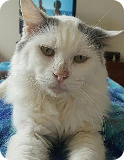 Maine Coon Cat for adoption in Hillside, Illinois - Gandalph-MAINE COON LAP CAT