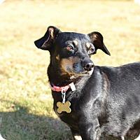 Dachshund Mix Dog for adoption in Acworth, Georgia - Palaelithic - Stone Age Litter