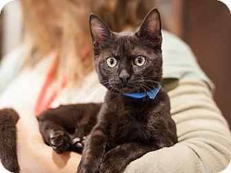 Domestic Shorthair Kitten for adoption in Dallas, Texas - Spice