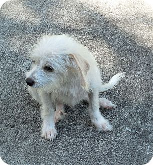 Chihuahua/Maltese Mix Puppy for adoption in Ormond Beach, Florida - Whitey