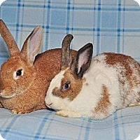 Adopt A Pet :: Gingerbread and Fawn - Chesterfield, MO