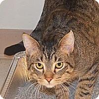 Adopt A Pet :: Lynx - Lincoln, NE