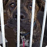 Adopt A Pet :: Lady Bella URGENT - San Diego, CA