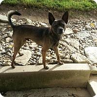 Adopt A Pet :: Dingo - Alexandria, KY