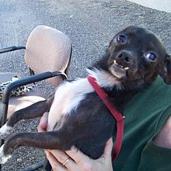 Photo 3 - Chihuahua Dog for adoption in Glendale, Arizona - Little Rocky