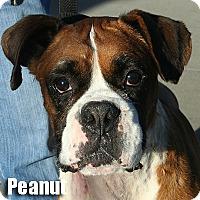 Adopt A Pet :: Peanut - Encino, CA