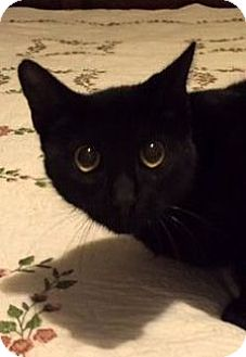 Bombay Cat for adoption in Porter, Texas - Copper