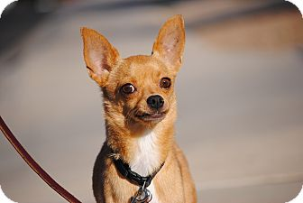 Chihuahua Dog for adoption in Goodyear, Arizona - Stevie