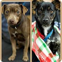 Adopt A Pet :: Flora - Harmony, Glocester, RI