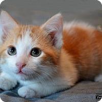 Adopt A Pet :: Ollie - Little Rock, AR