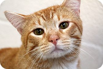 Domestic Shorthair Cat for adoption in Sarasota, Florida - Hendrix