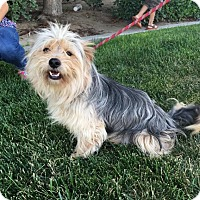 Yorkie, Yorkshire Terrier/Cairn Terrier Mix Dog for adoption in Bakersfield, California - Fuzzy Stoellar
