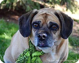 Pug/Beagle Mix Dog for adoption in Hazel Park, Michigan - Bella the Puggle