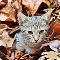 Adopt A Pet :: Scribbles - Chattanooga, TN