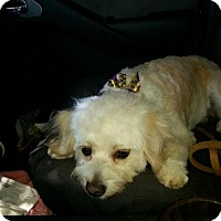Poodle (Miniature) Mix Dog for adoption in Petaluma, California - Lady