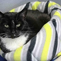 Domestic Mediumhair Cat for adoption in Hampton Bays, New York - LACEY