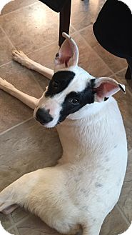 Labrador Retriever/Jack Russell Terrier Mix Dog for adoption in Franklinville, New Jersey - Jack