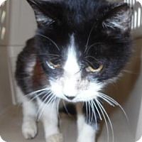 Domestic Shorthair Cat for adoption in Waupaca, Wisconsin - Kecie