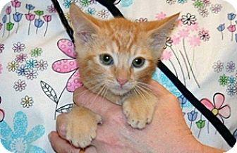 Domestic Shorthair Kitten for adoption in Wildomar, California - 323000