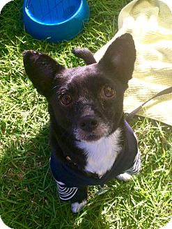 Chihuahua/Terrier (Unknown Type, Small) Mix Dog for adoption in Los Angeles, California - Mona Leash-A