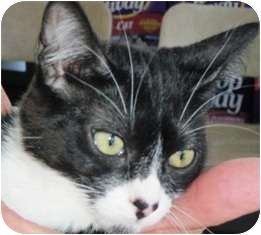 Domestic Shorthair Kitten for adoption in Pasadena, California - Dominika