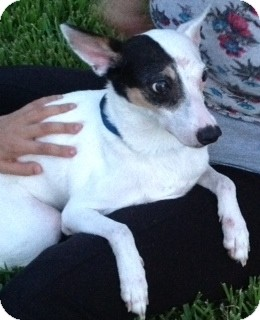 Jack Russell Terrier Mix Dog for adoption in Tavares, Florida - Lilly