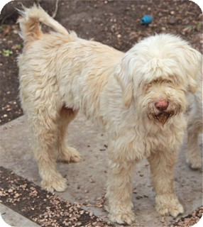 Wheaten Terrier Mix Dog for adoption in Norwalk, Connecticut - Lucinda - adoption pending